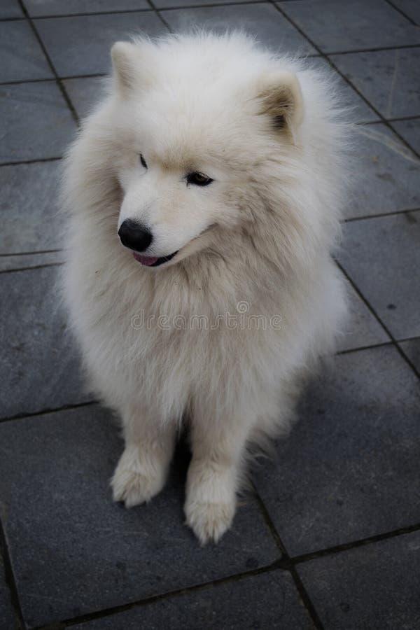 Cane robusto bianco fotografia stock