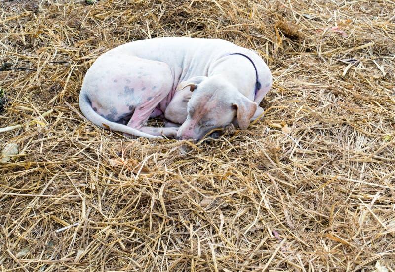 Cane rognoso che dorme sulla paglia asciutta immagini stock