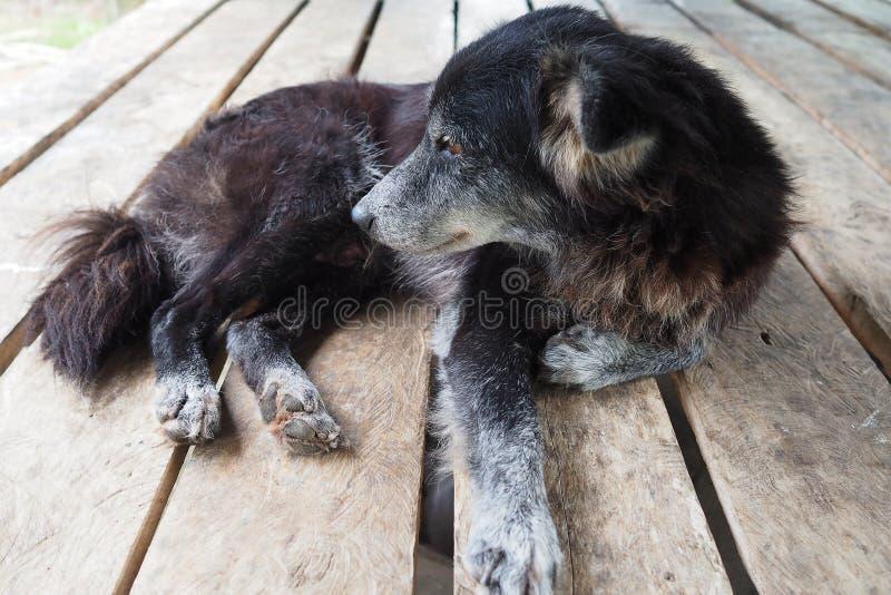 Cane rognoso che mette su tavola di legno, povero cane, cane nero fotografia stock