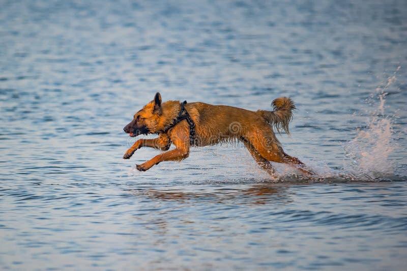 cane Rossastro-dai capelli libero di funzionare fotografia stock libera da diritti