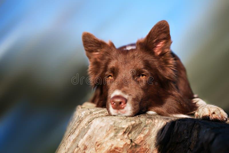 Cane rosso del Collie di bordo immagine stock libera da diritti