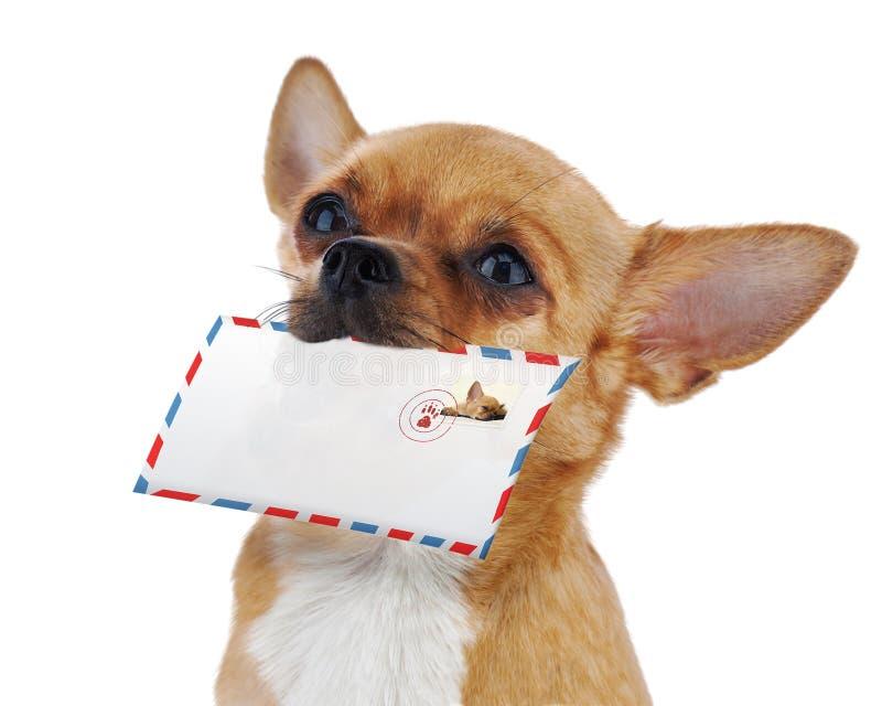 Cane rosso della chihuahua con la busta della posta isolata su backgroun bianco immagini stock libere da diritti