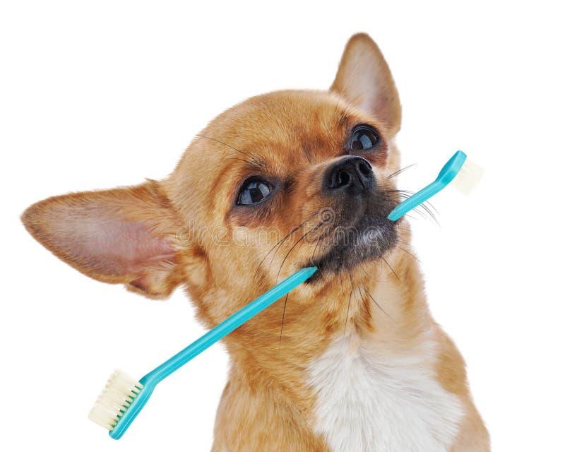 Cane rosso della chihuahua con lo spazzolino da denti isolato su fondo bianco. immagine stock