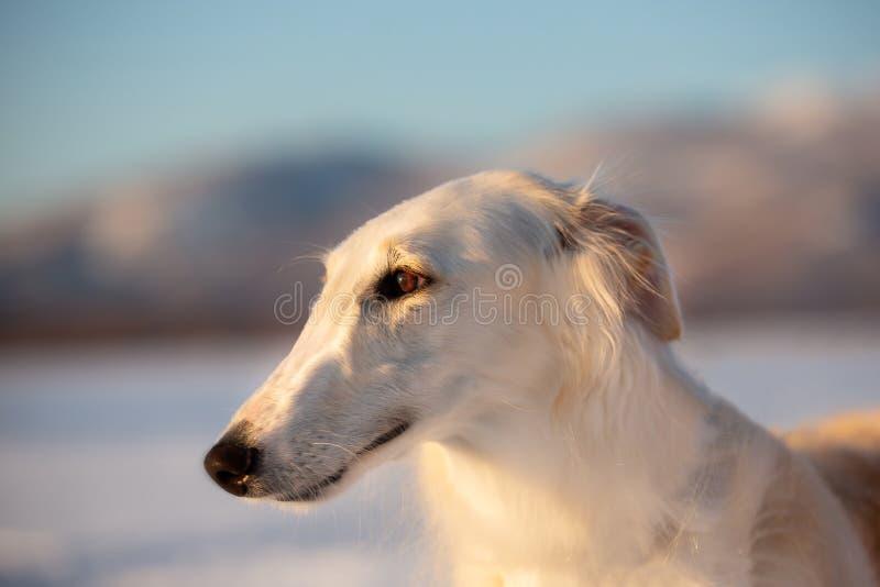 Cane russo beige di eleganza e bello dei borzoi nel campo al tramonto immagine stock