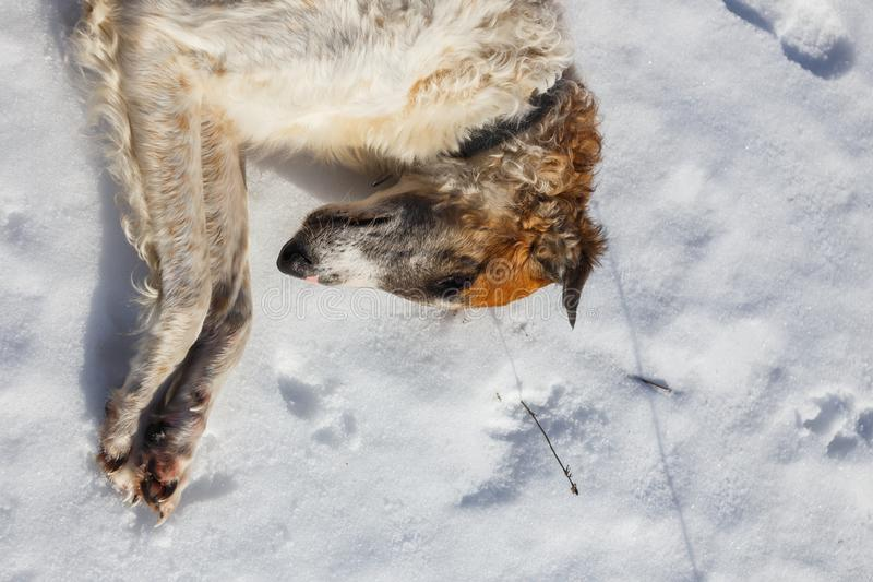 Cane russo dei borzoi che si trova nella neve Testa della fine del cane su fotografia stock libera da diritti