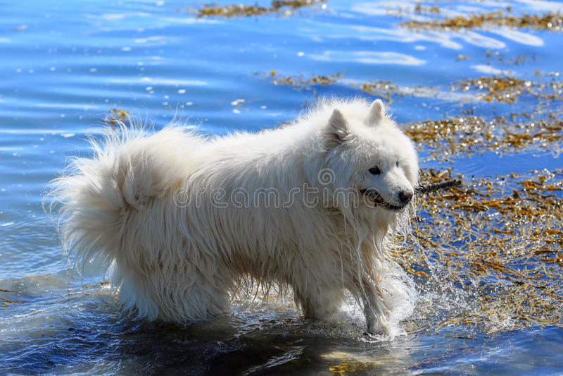 Cane samoiedo che gioca nell'acqua immagine stock libera da diritti