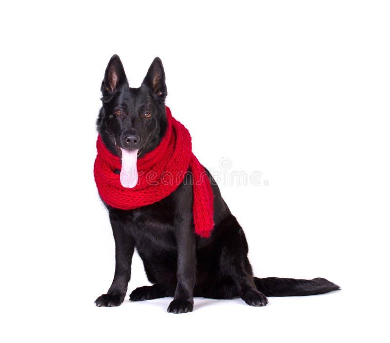Cane in sciarpa rossa fotografie stock