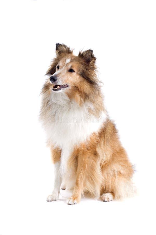Cane scozzese del collie immagini stock