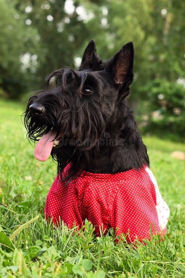 Cane scozzese del terrier immagine stock