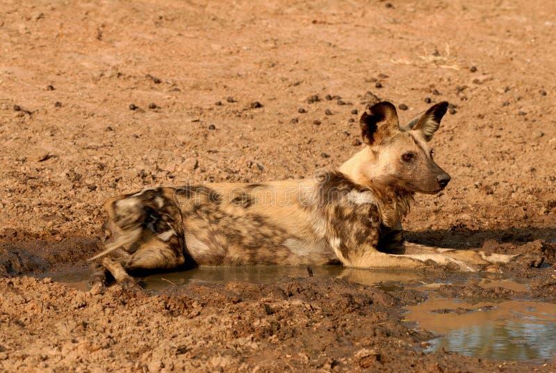 Cane selvaggio africano che risiede nell'acqua fangosa fotografie stock libere da diritti