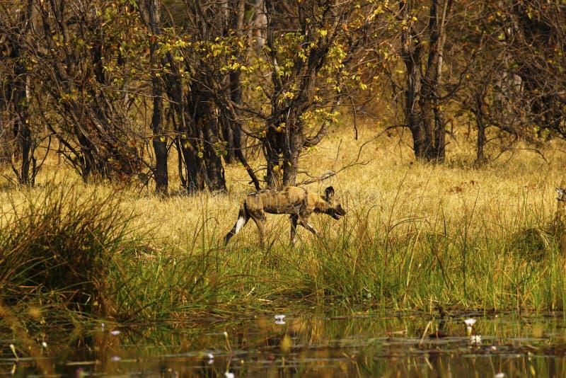 Cane selvaggio africano o lupo dipinto come suo a volte conosciuto fotografia stock