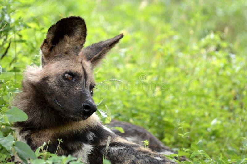 Cane selvaggio africano, pictus di Lycaon fotografia stock libera da diritti