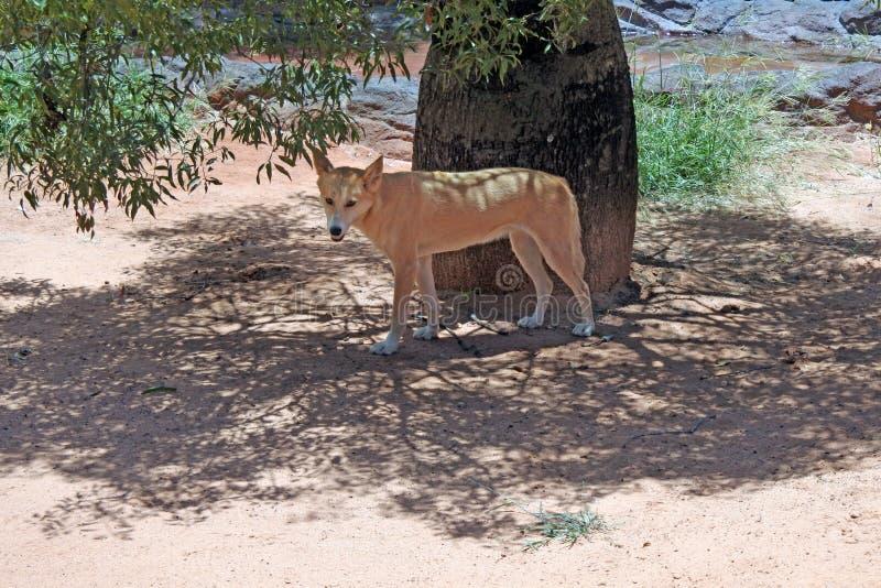Cane selvaggio australiano del dingo nell'entroterra di Qeensland Australia immagini stock
