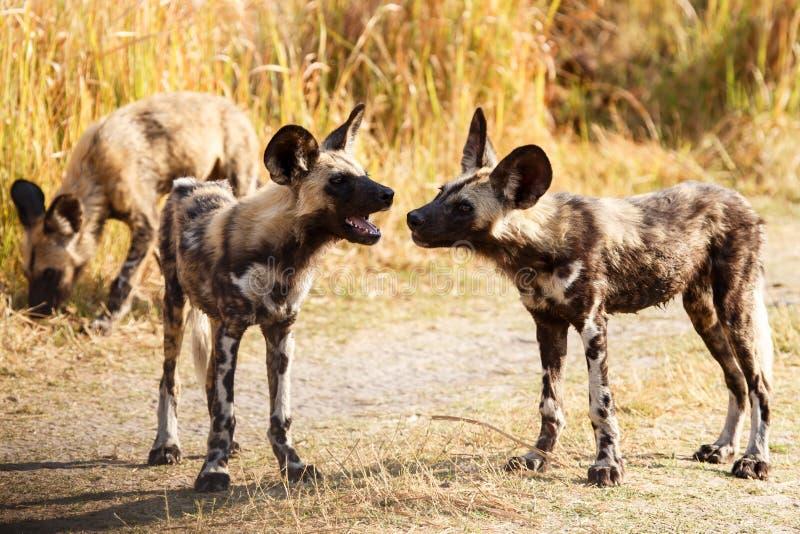 Cane selvaggio - delta di Okavango - Moremi N P immagini stock libere da diritti