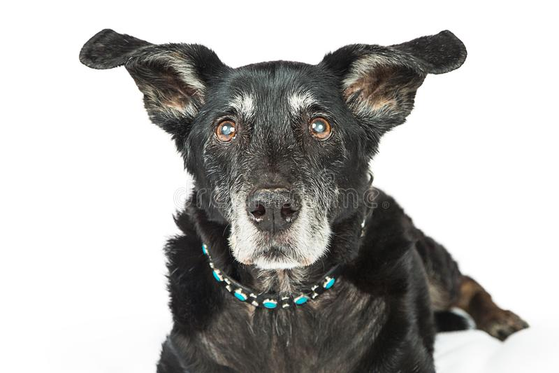 Cane senior della razza del primo piano grande fotografia stock libera da diritti
