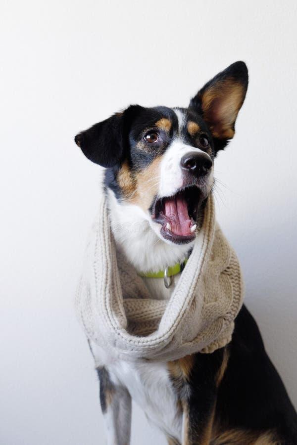 Cane sorpreso in sciarpa, venuta di autunno immagine stock