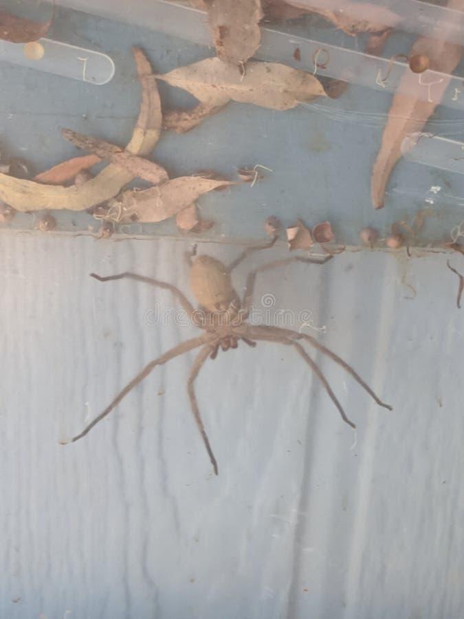 Cane Spider O& x27; Hawaii foto de archivo libre de regalías