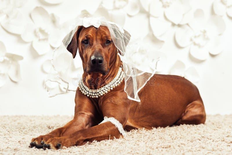 Cane-sposa di Rhodesian Ridgeback davanti al fondo del fiore fotografia stock libera da diritti