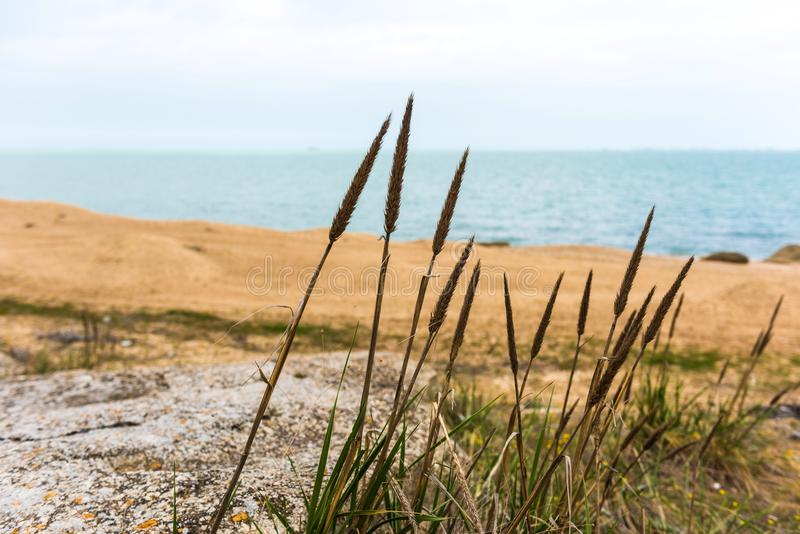 Cane stalks by sea. Cane stalks by the sea on rocks royalty free stock photography