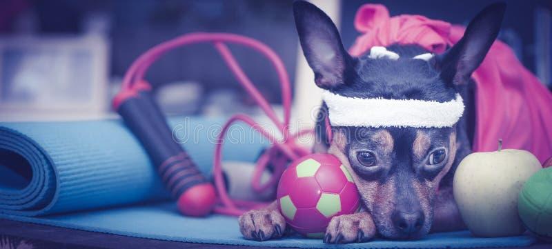 Cane stanco dopo l'allenamento Forma fisica dell'animale domestico, sport e concetto di stile di vita Forma fisica e sport fotografia stock libera da diritti