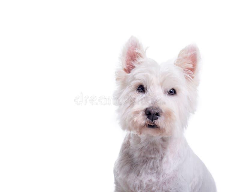 Cane su fondo bianco, contenuto uno studio fotografia stock