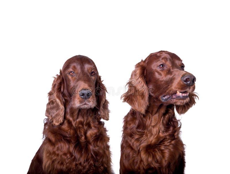 Cane su fondo bianco, contenuto uno studio fotografie stock libere da diritti