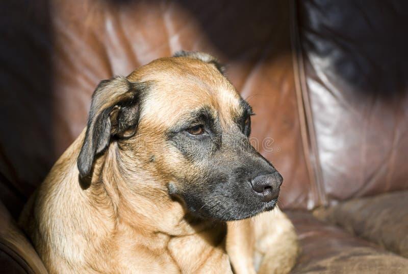 Cane su un sofà di cuoio fotografia stock