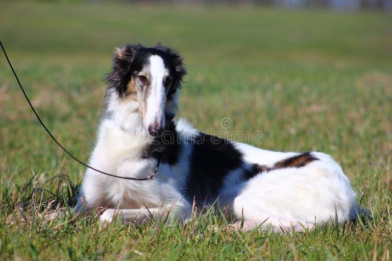 Cane sul guinzaglio che si siede nell'erba fotografia stock