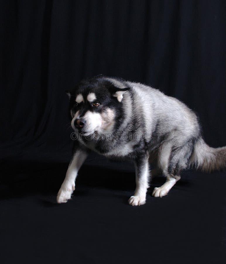 Cane sul vagare in cerca di preda