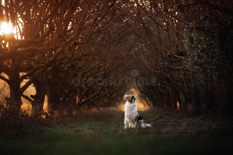 Cane sul sentiero per pedoni Posto mistico, alberi Pastore australiano in natura immagine stock