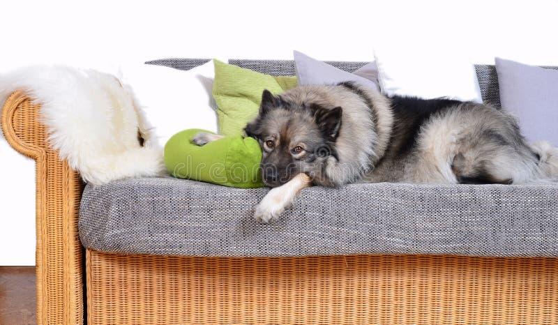 Cane sul sofà fotografia stock