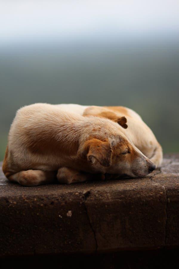 Cane sulla pietra, sogno dolce immagine stock libera da diritti