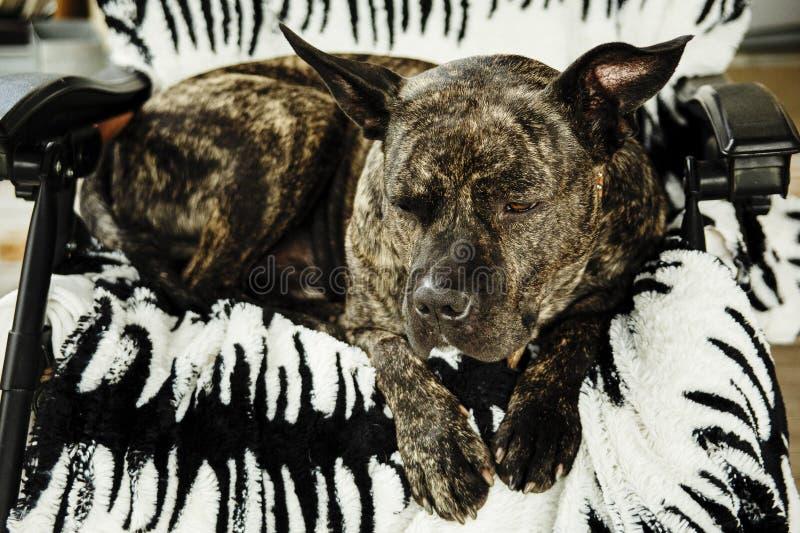 Cane sullo strato fotografie stock