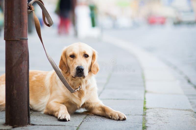 Cane sveglio che aspetta pazientemente il suo supervisore immagine stock