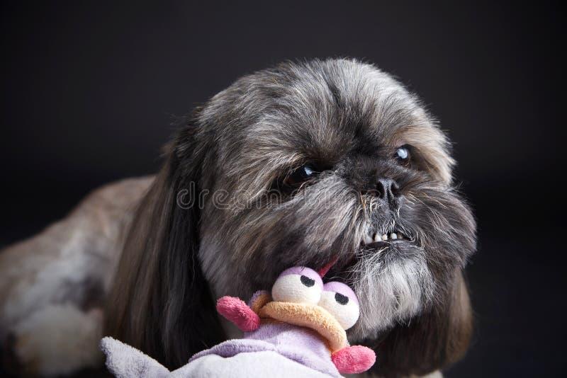 Cane sveglio che gioca con un giocattolo immagini stock libere da diritti