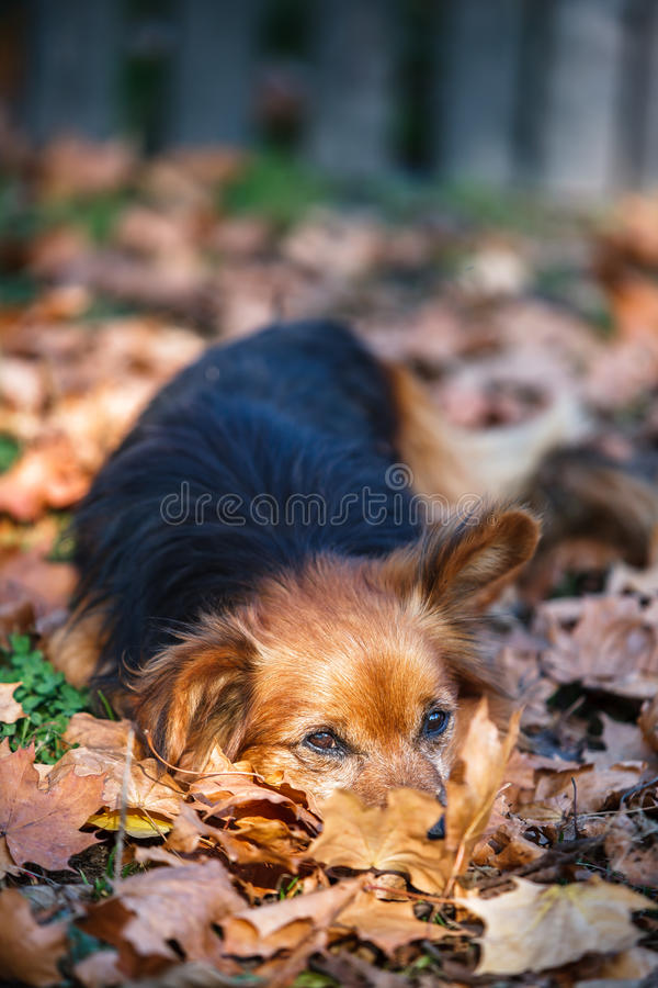 Cane sveglio che risiede nelle foglie di autunno fotografie stock