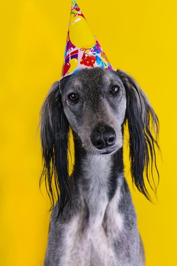 Cane sveglio con un cappello della festa di compleanno sull'isolato su su un fondo giallo Levriero cappello con copyscpace fotografia stock