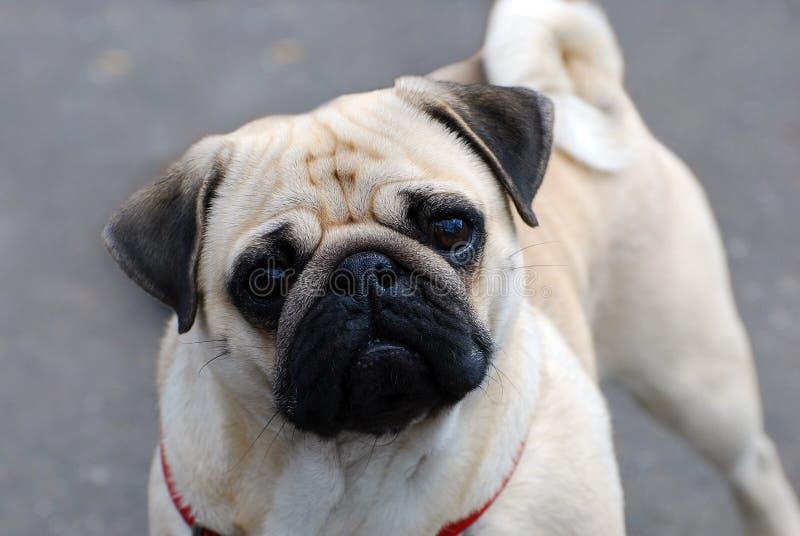 Cane sveglio del carlino fotografia stock