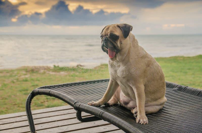 Cane sveglio del carlino del cucciolo su una sedia di spiaggia che si abbronza alla spiaggia sul riassunto fotografia stock