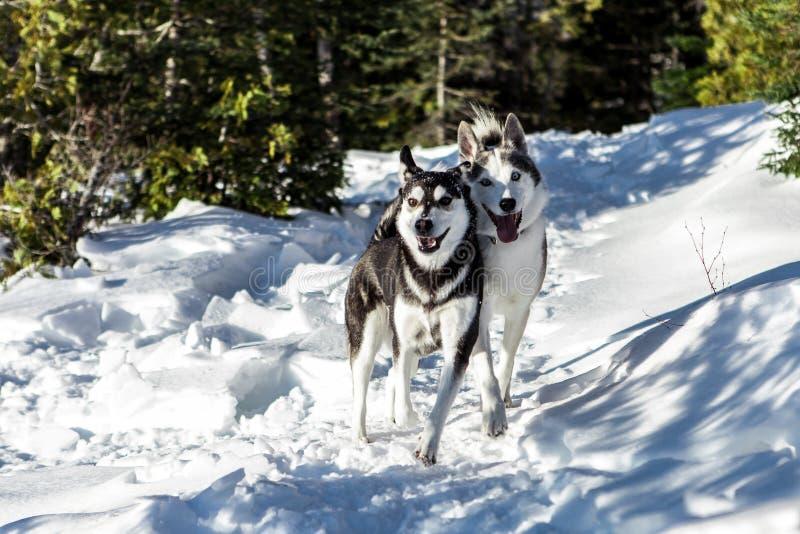 Cane sveglio del husky che fa un'escursione intorno alla montagna fotografie stock libere da diritti