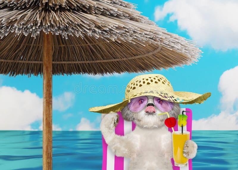 Cane sveglio di shitzu che riposa e che si rilassa sulla sedia di spiaggia sotto l'ombrello con succo alla riva dell'oceano della immagine stock