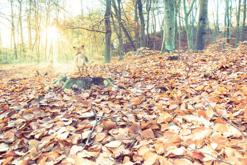 Cane sveglio ed adorabile nella foresta di autunno che esamina la distanza con grande interesse immagine stock libera da diritti