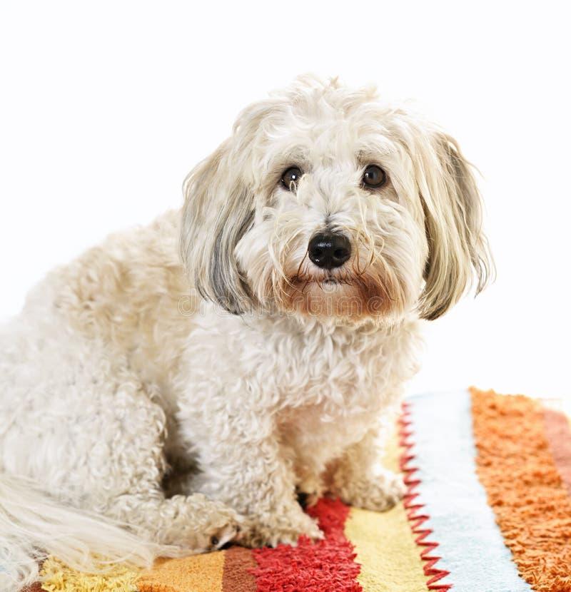Cane sveglio su moquette fotografie stock libere da diritti
