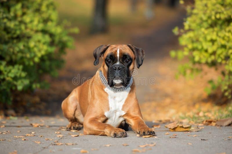 Cane tedesco del pugile all'aperto in autunno fotografia stock
