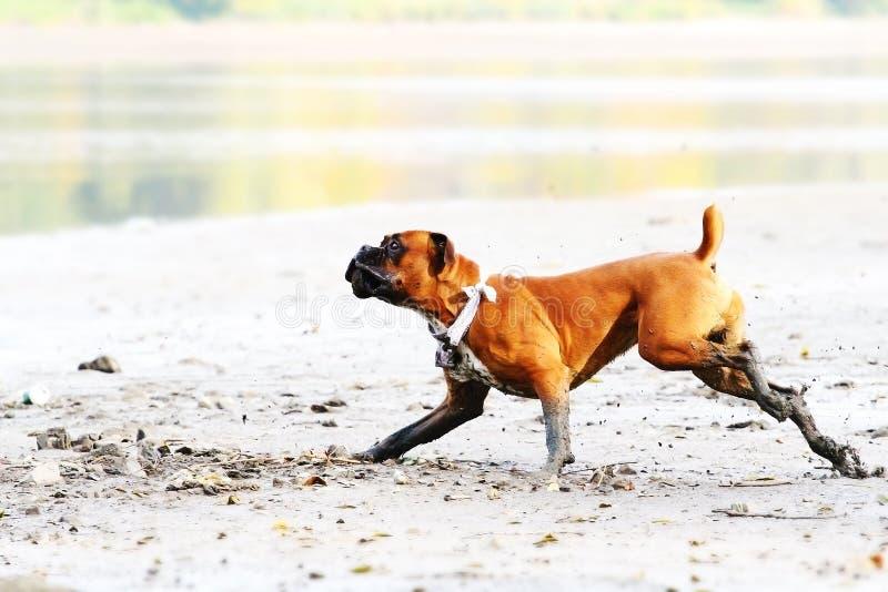 Cane tedesco del pugile che corre giù la spiaggia fotografia stock libera da diritti