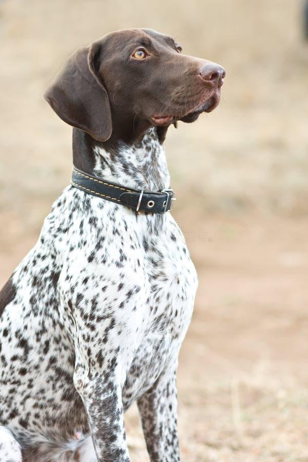 Cane tedesco dell'indicatore dai capelli corti che si siede nel campo fotografia stock