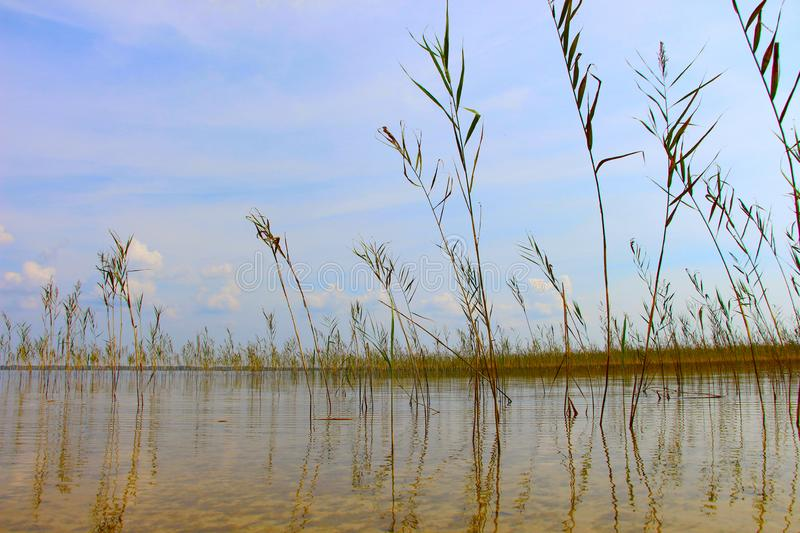 Cane thicket and its reflexion in daylight on the lake Svitiaz, Ukraine. Tranquil summer landscape. Sand under water. royalty free stock photo