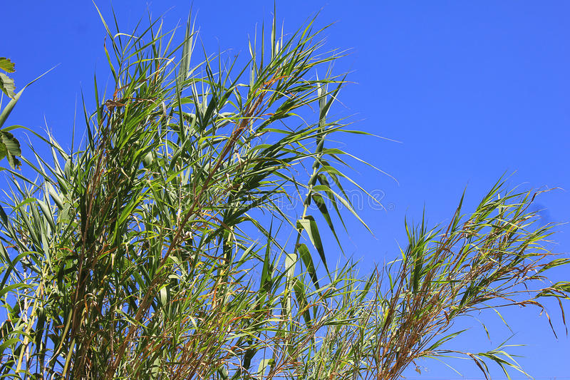 Cane thicket on sky background. Panoramic view of a cane thicket on sky background stock image
