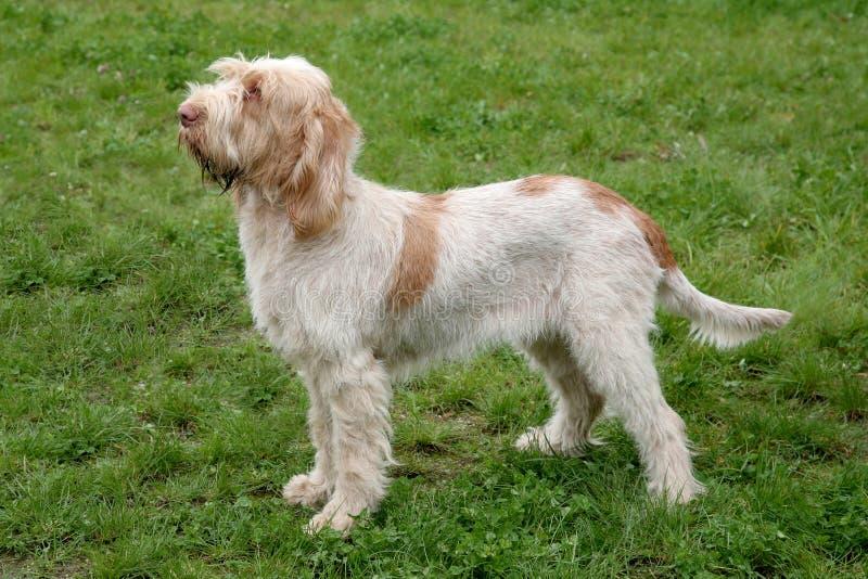 Cane tipico di Spinone Italiano su un prato inglese dell'erba verde fotografia stock