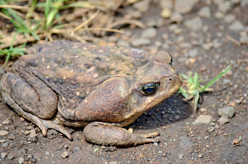 Cane Toad royalty-vrije stock afbeelding